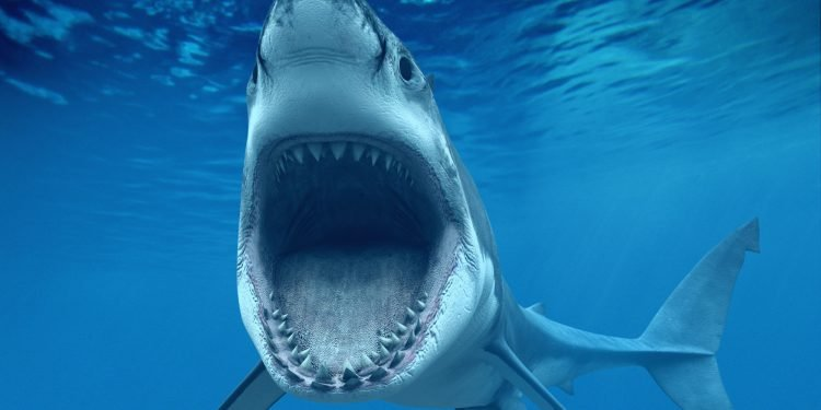 Great White Shark Opening Mouth