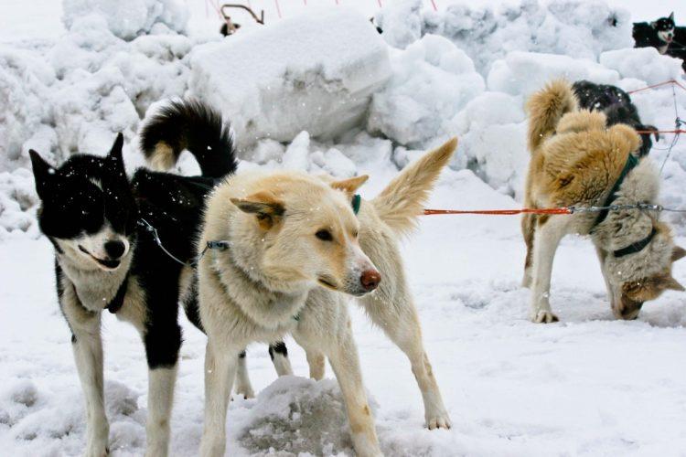 dogsledding 9 of 9