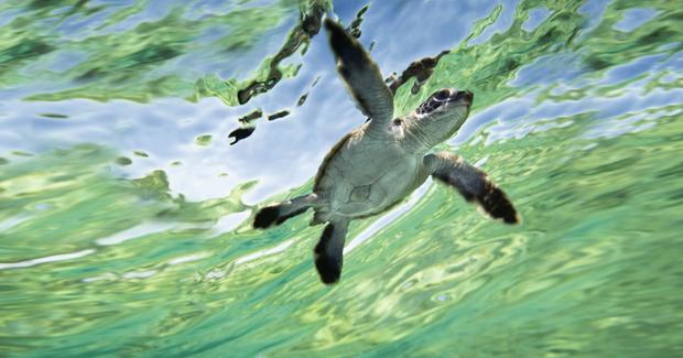 sea-turtle-hatchlings