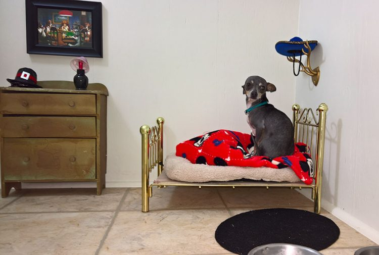 room-for-chihuahua-dog-1