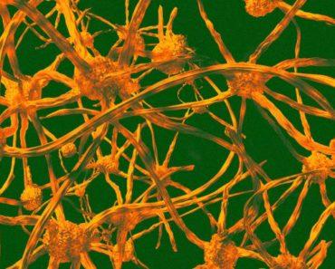 Studies Suggest Bone Marrow Transplants Might Prevent Aging