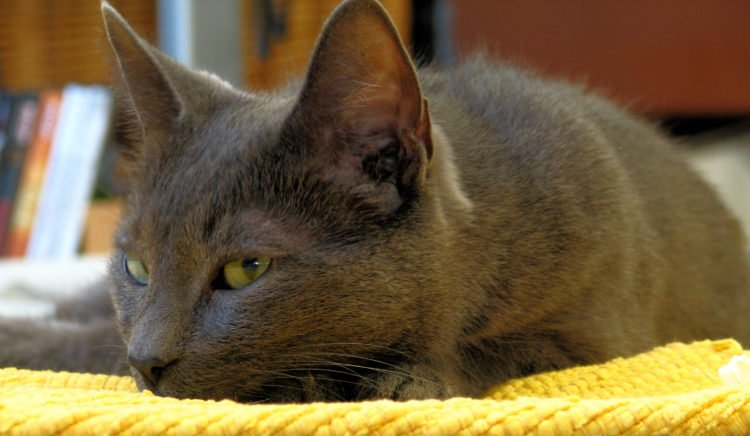 Korat cat falling asleep