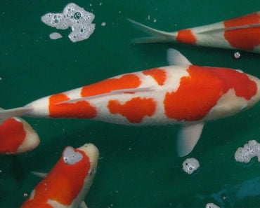 Why Are Koi Fish So Expensive? Here's the Answer