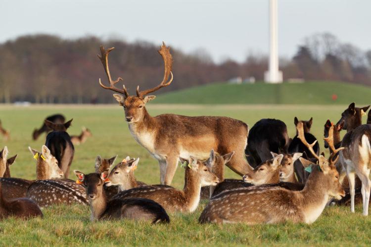 Dublin Deer