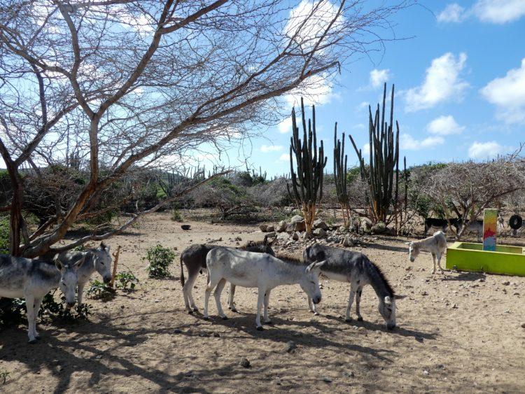 Aruba Donkeys