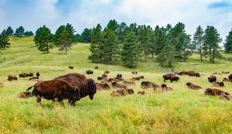 Go Bison Spotting
