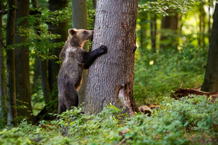 Bears at Chaparri Conservation Area