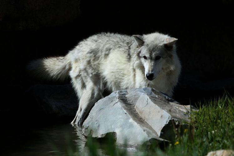 The Wolf Centre