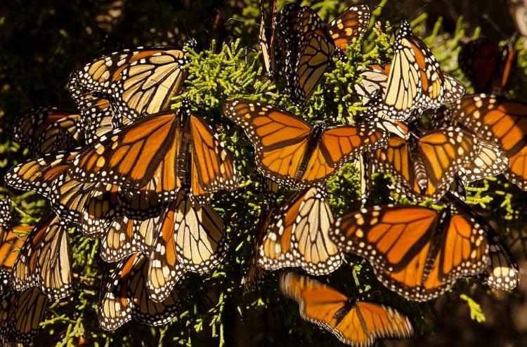 Butterflies at Monarch Butterfly Grove