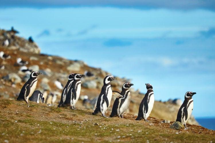 Penguins at Isla Magdalena