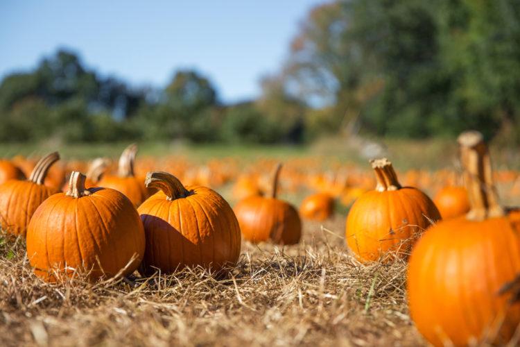 Visit the pumpkin patch at Willis Farm