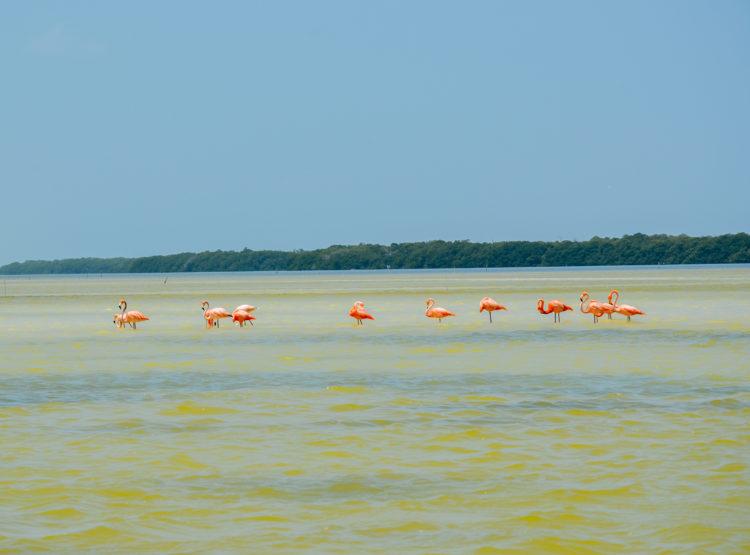 flamingoes at Ria Celestun