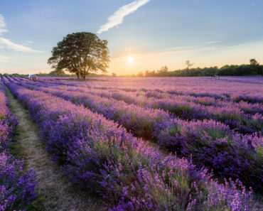 10 Lavender Farms You Need to Visit in the United States