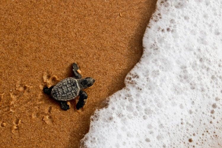 Sea Turtle Preservation Society