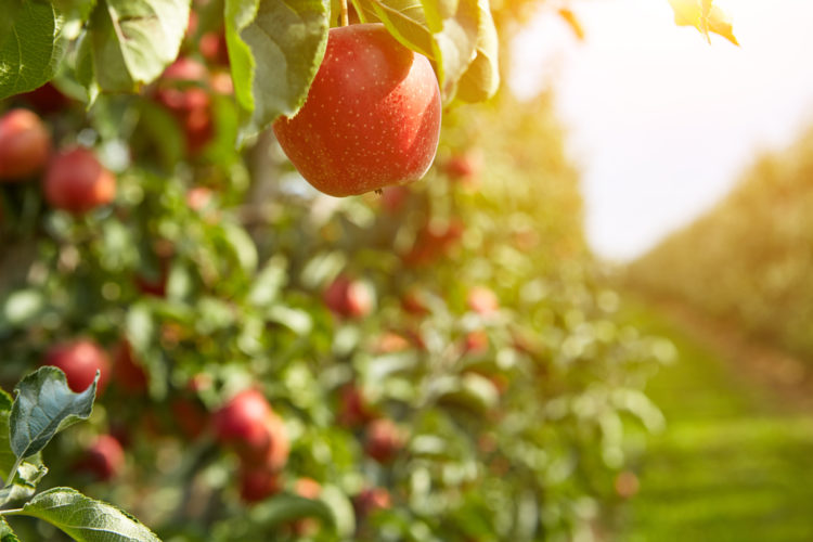 Pick your own apples at Clark Farms at Bushy Hill Orchard